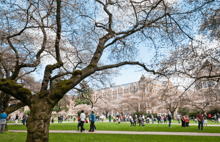 Cherry Trees on University of Washington campus | Common Sense College Counseling